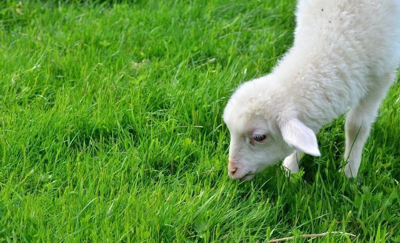 mini-agneaux