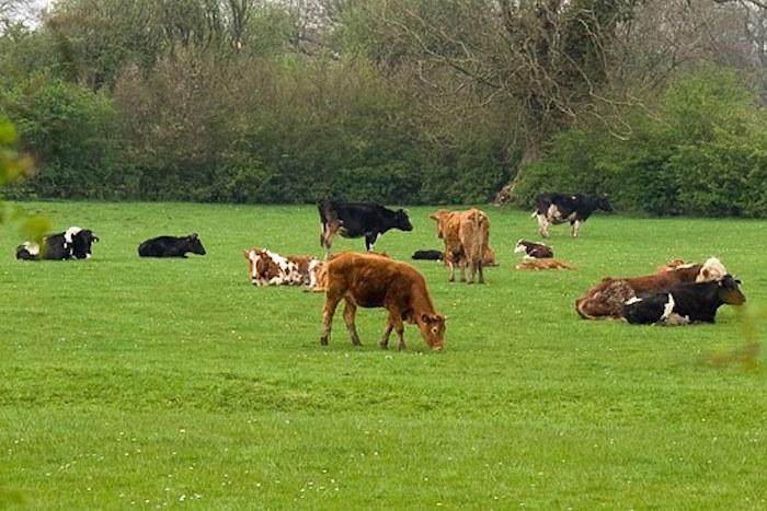 troupeau-vache
