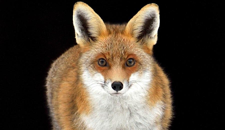 Montels : conférence « Le renard roux et la maladie de Lyme » – 22 mai