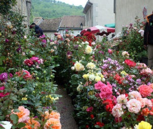 camon roses 300x253
