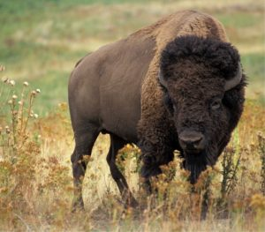 ferme bisons 300x263
