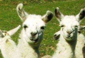 ferme lamas auzat 1 300x205
